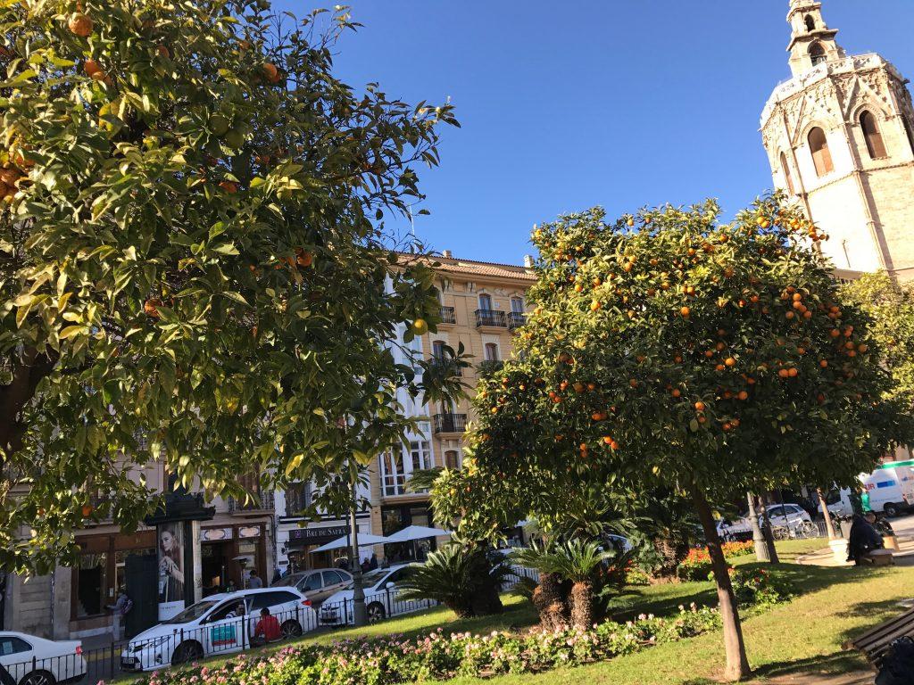 oranges growing in Valencia